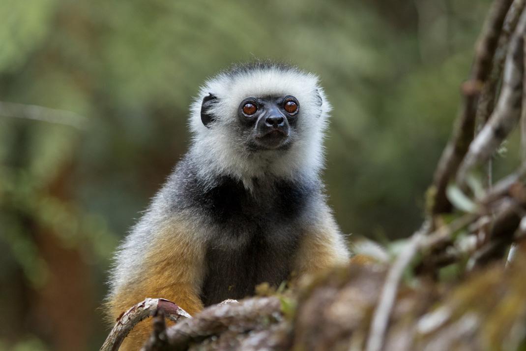 Diademed Sifaka in Analamazaotra Reserve (ANdasibe-Mantadia National Park)