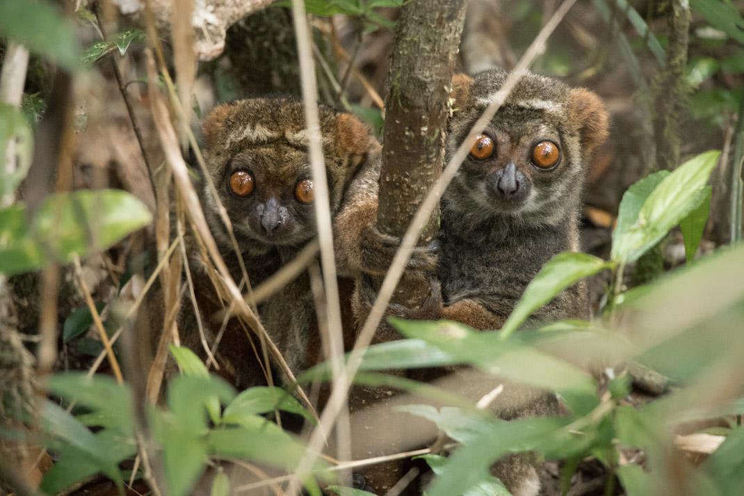 Eastern Woolly Lemurs, Analamazaotra Reserve (Andasibe-Mantadia National Park)