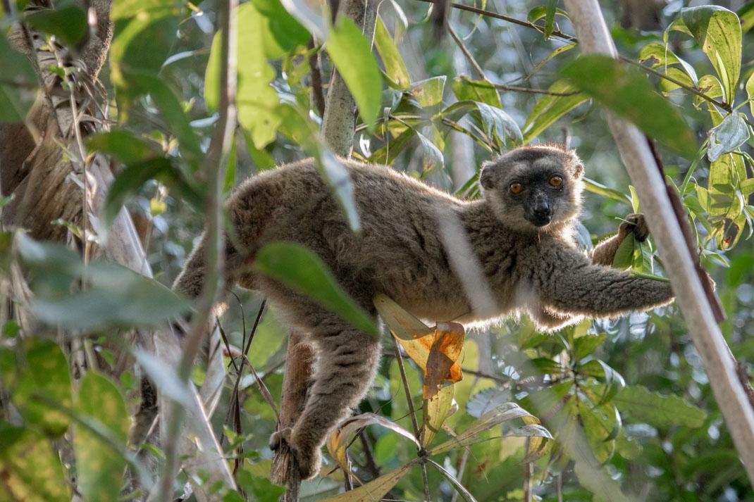 common brown lemur in Andasibe-Mantadia National Park
