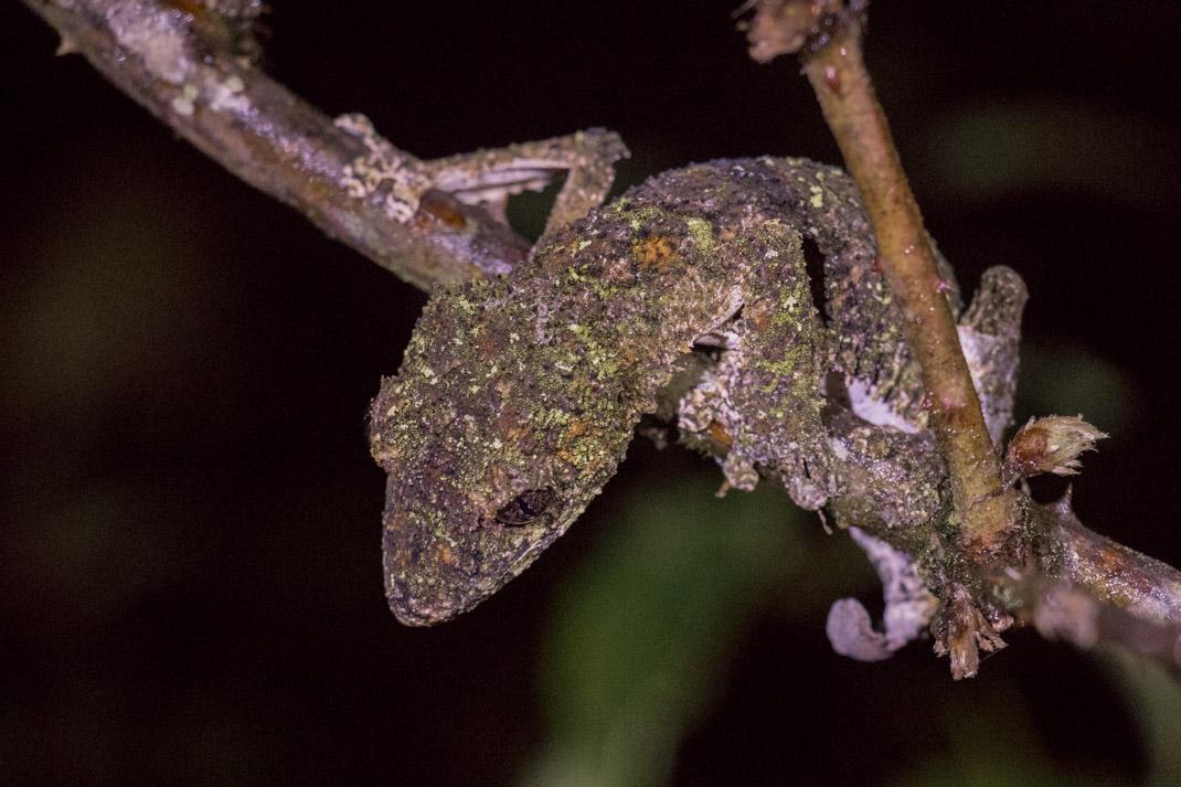 Mossy Leaf-Tailed Gecko on an Andasibe night walk