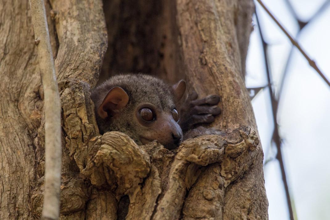 Milne-Edwards Sportive Lemur, Ankarafantsika National Park - Madagascar