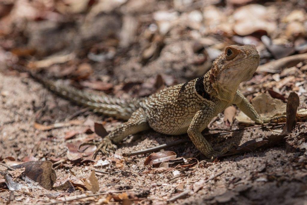Malagasy Iguanid at Tsingy de Bemaraha National Park