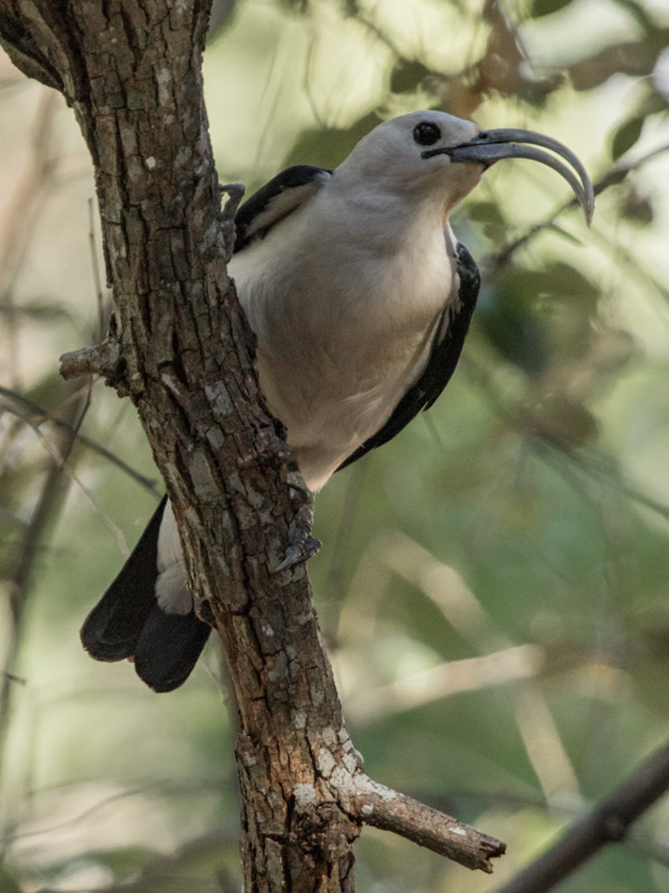 Sickle-billed Vanga, Ankarafantsika National Park - Madagascar