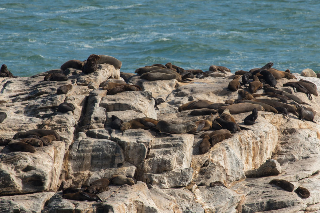 Namibian seals