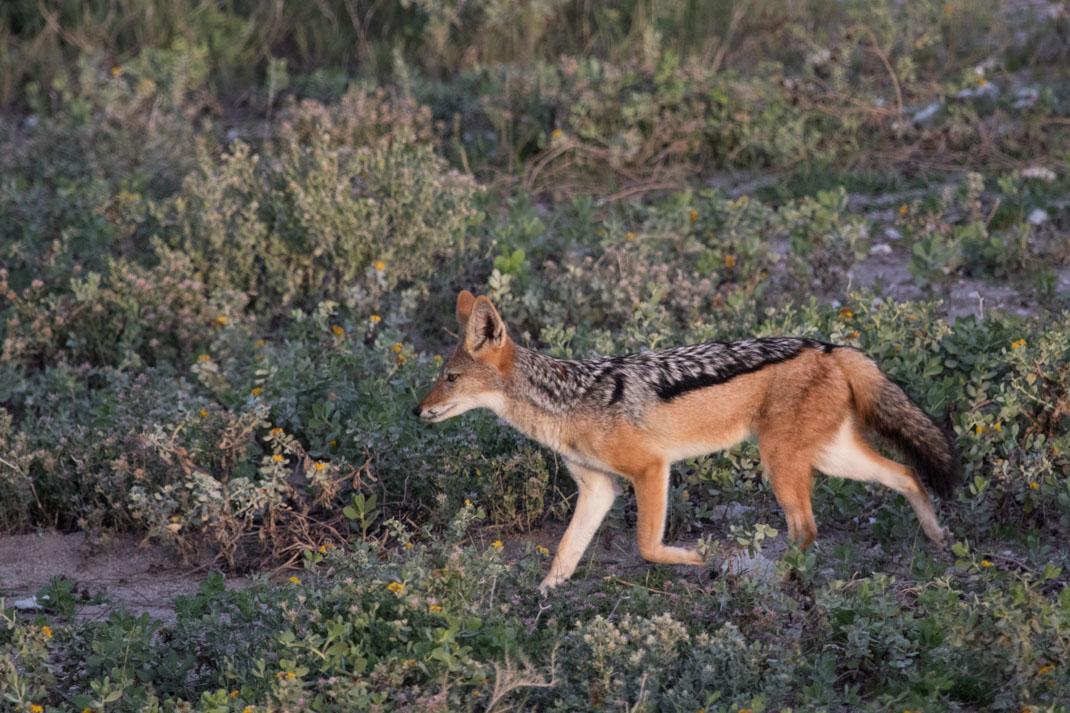 Black-Backed Jackal, Etosha National Park