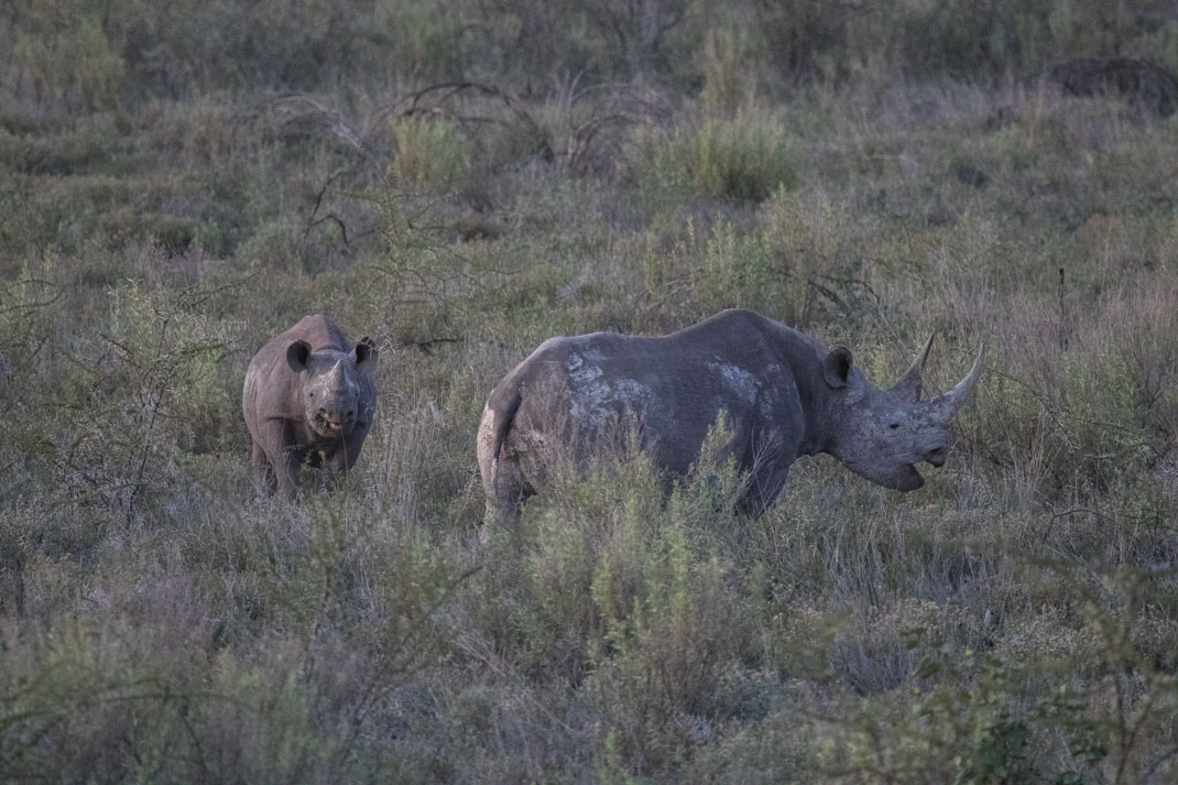 Black rhino, Etosha National Park