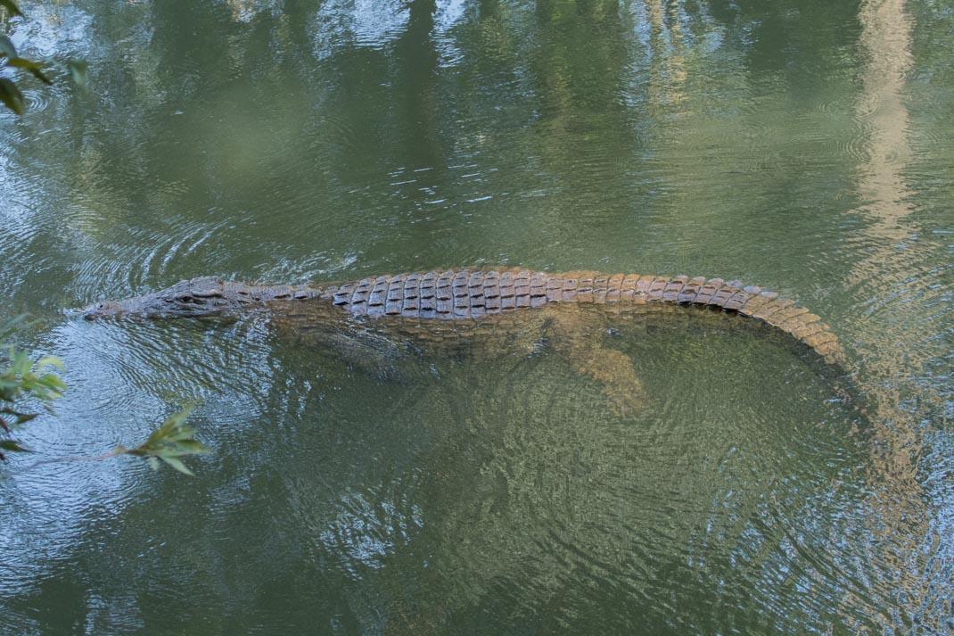 Mlilwane Crocodile