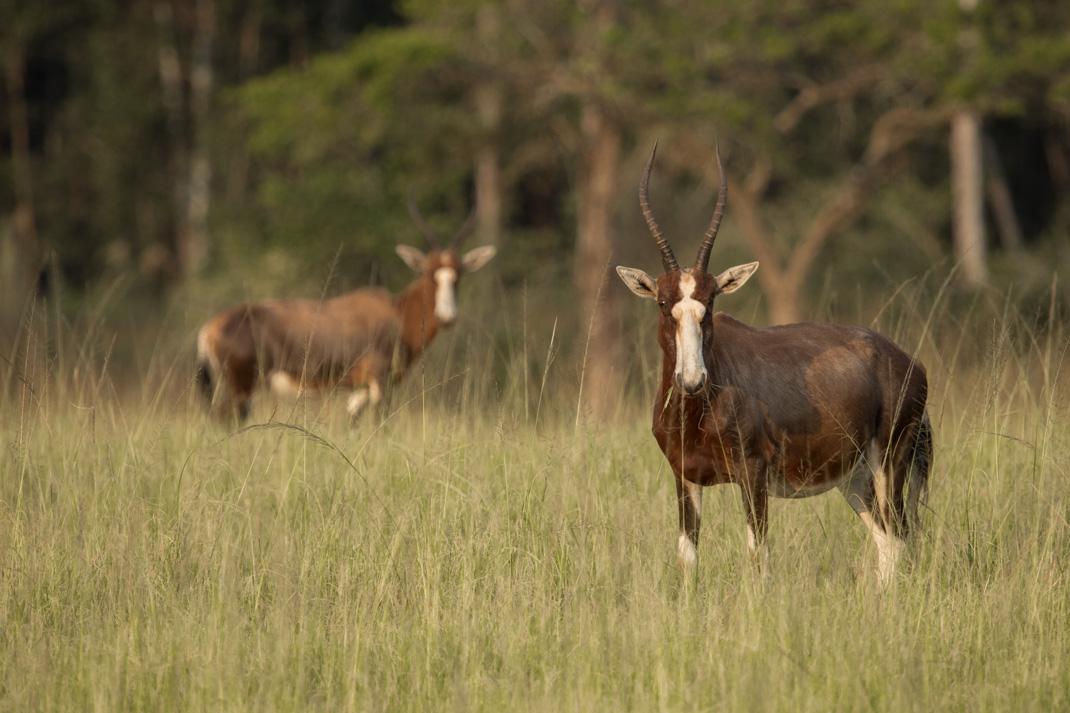 Swaziland Blesbok