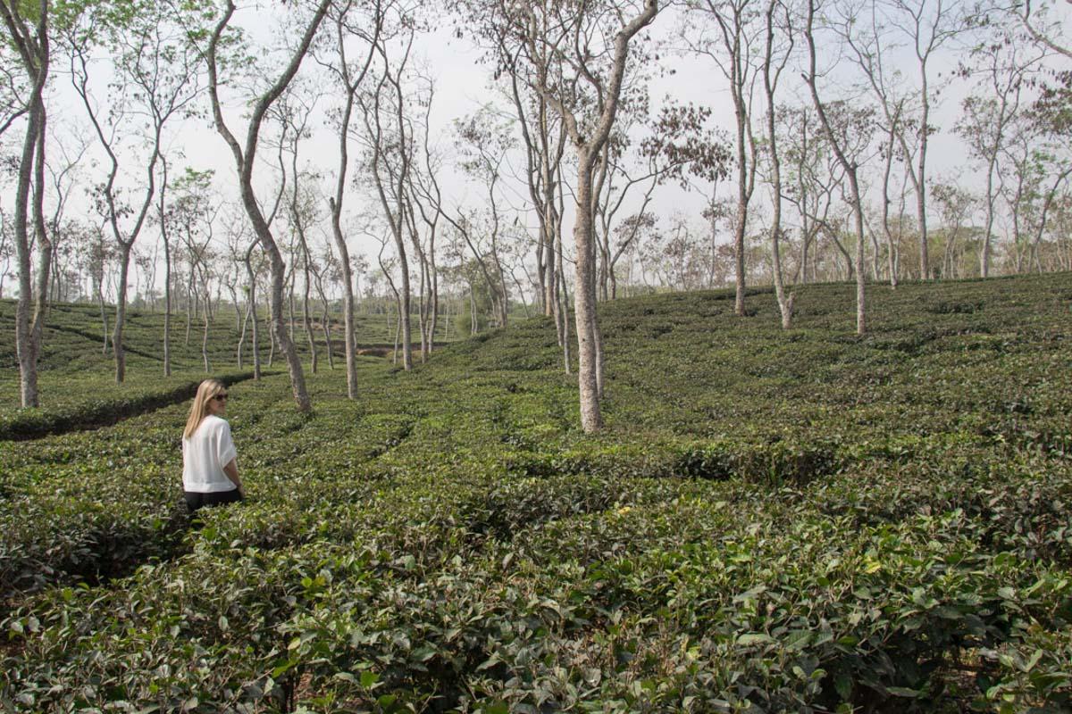 Shumshernugger Tea Estate