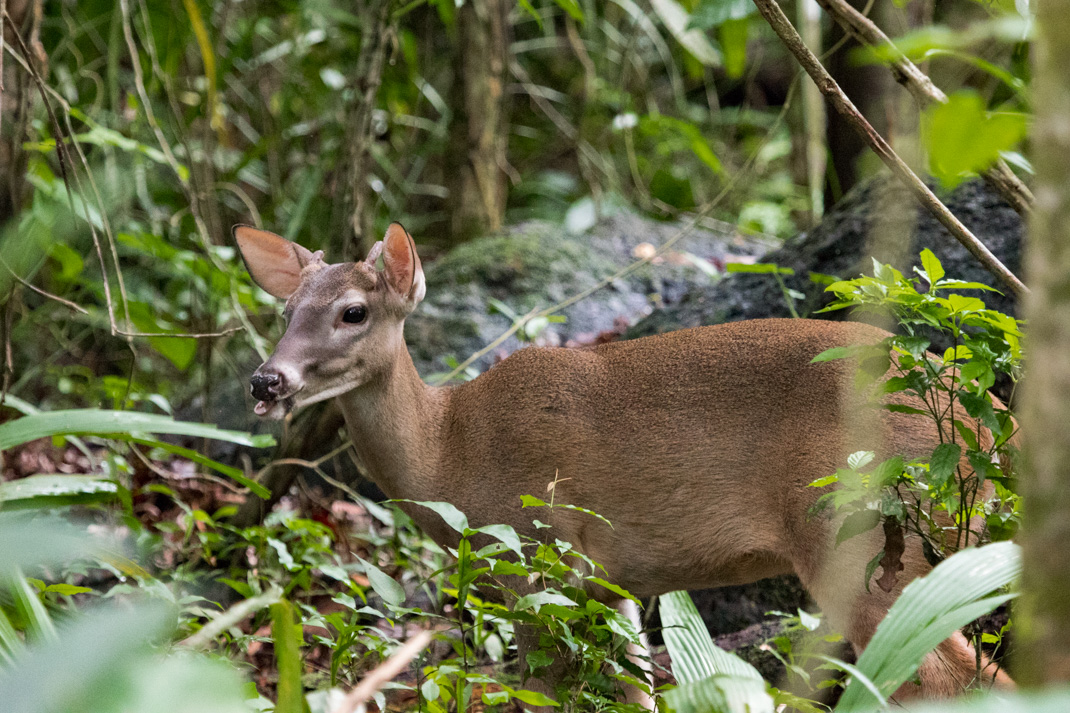 White-tail Deer Manuel Antonio National Park