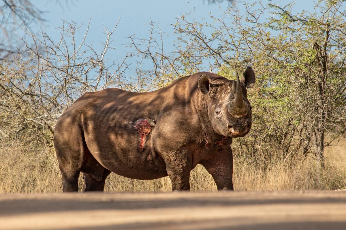 Black Rhino at Kruger National Park