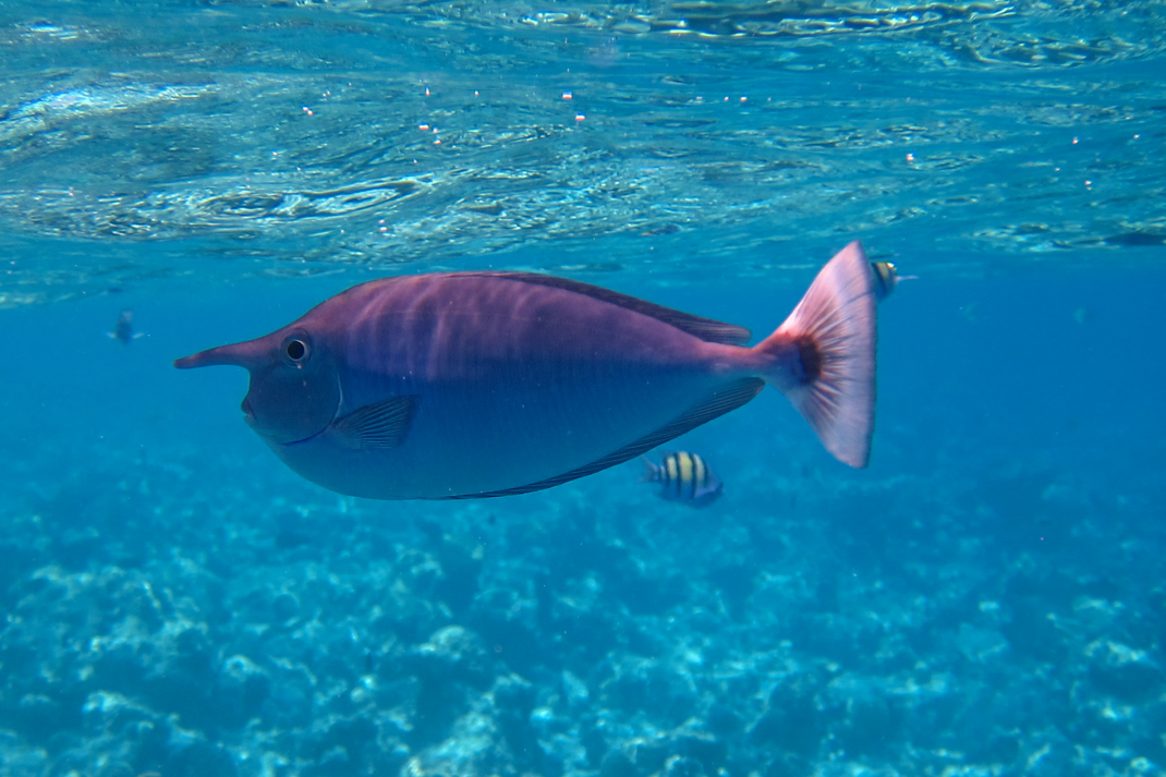 Unicornfish Maldive