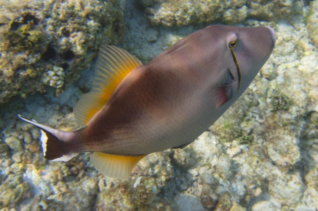 Plucky Triggerfish