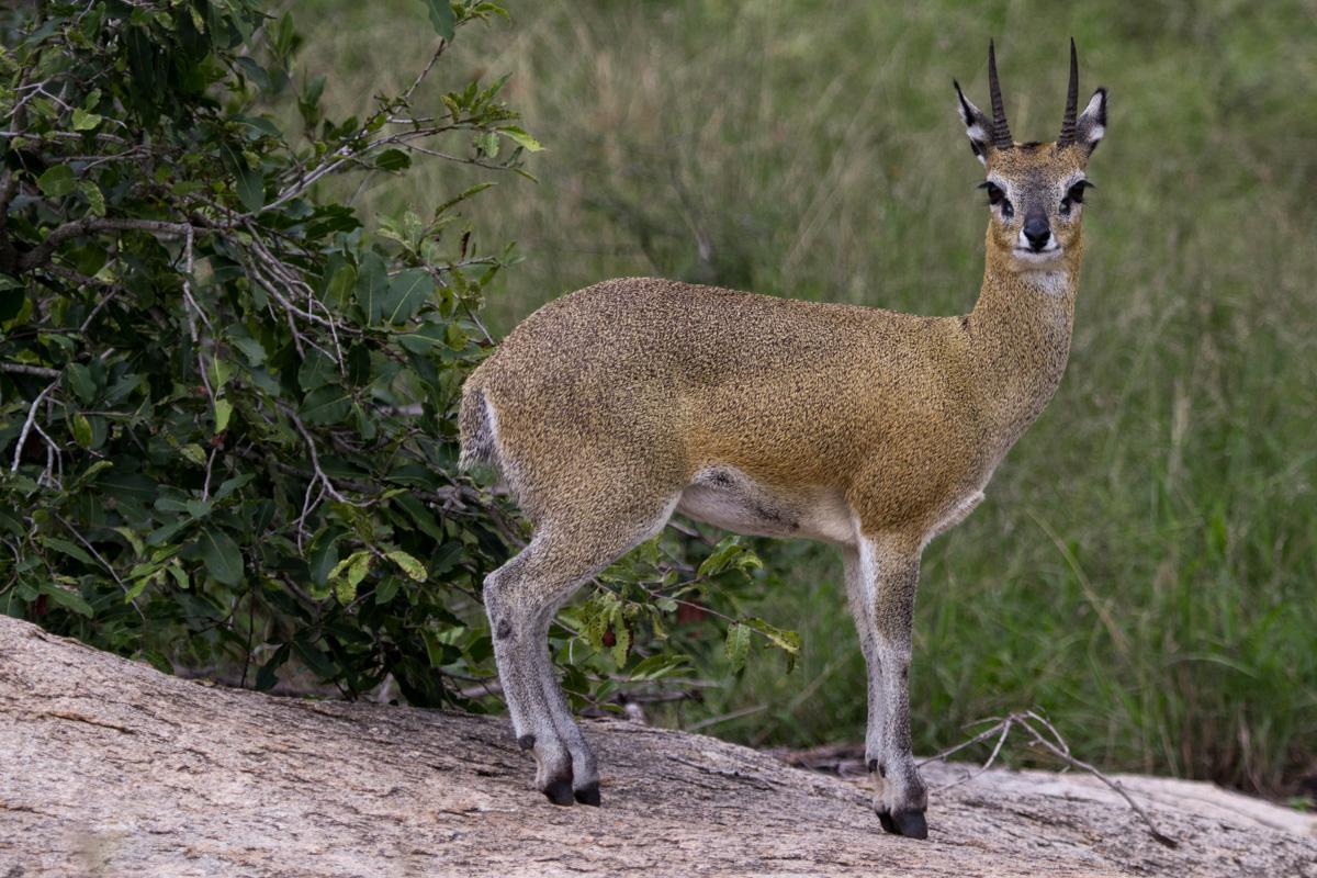 Klipspringer - Kruger National Park
