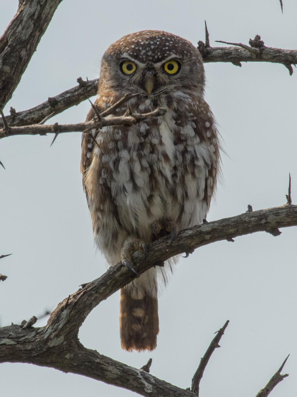 Pearl-spotted Owlet - Kruger National Park