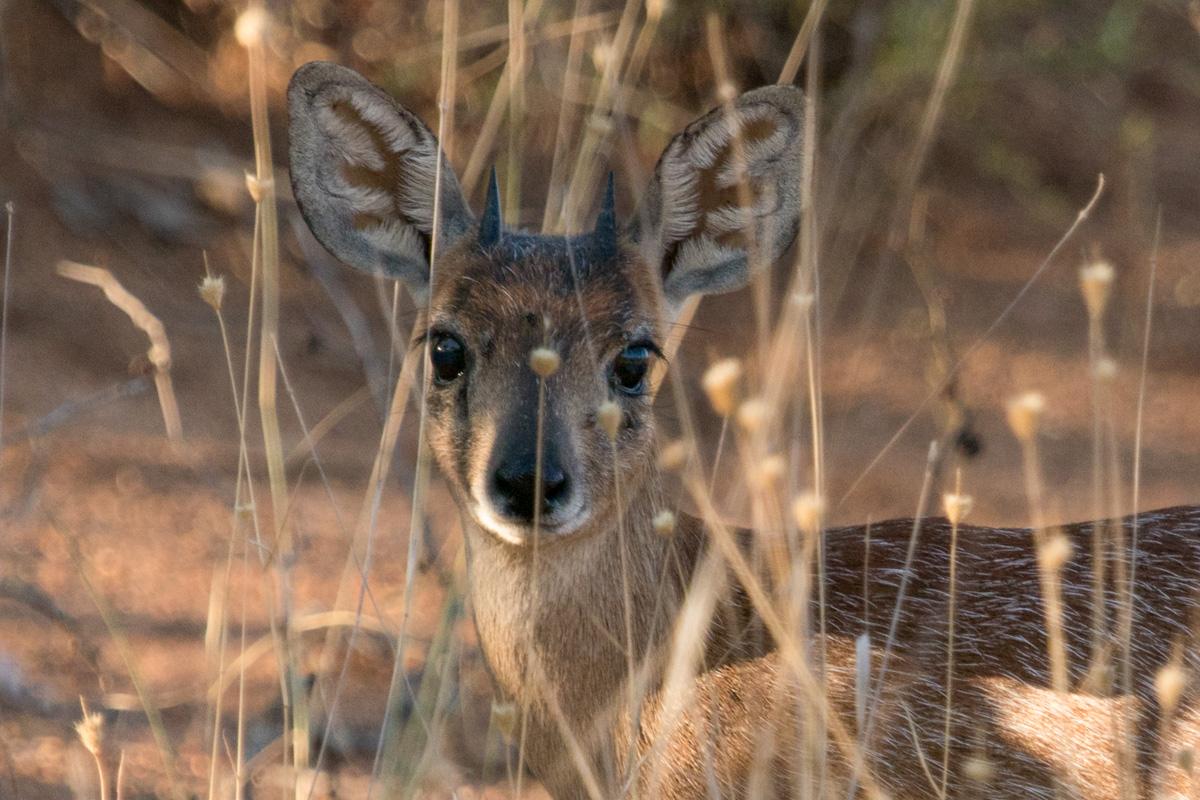 Sharpes Grysbok, Kruger National Park