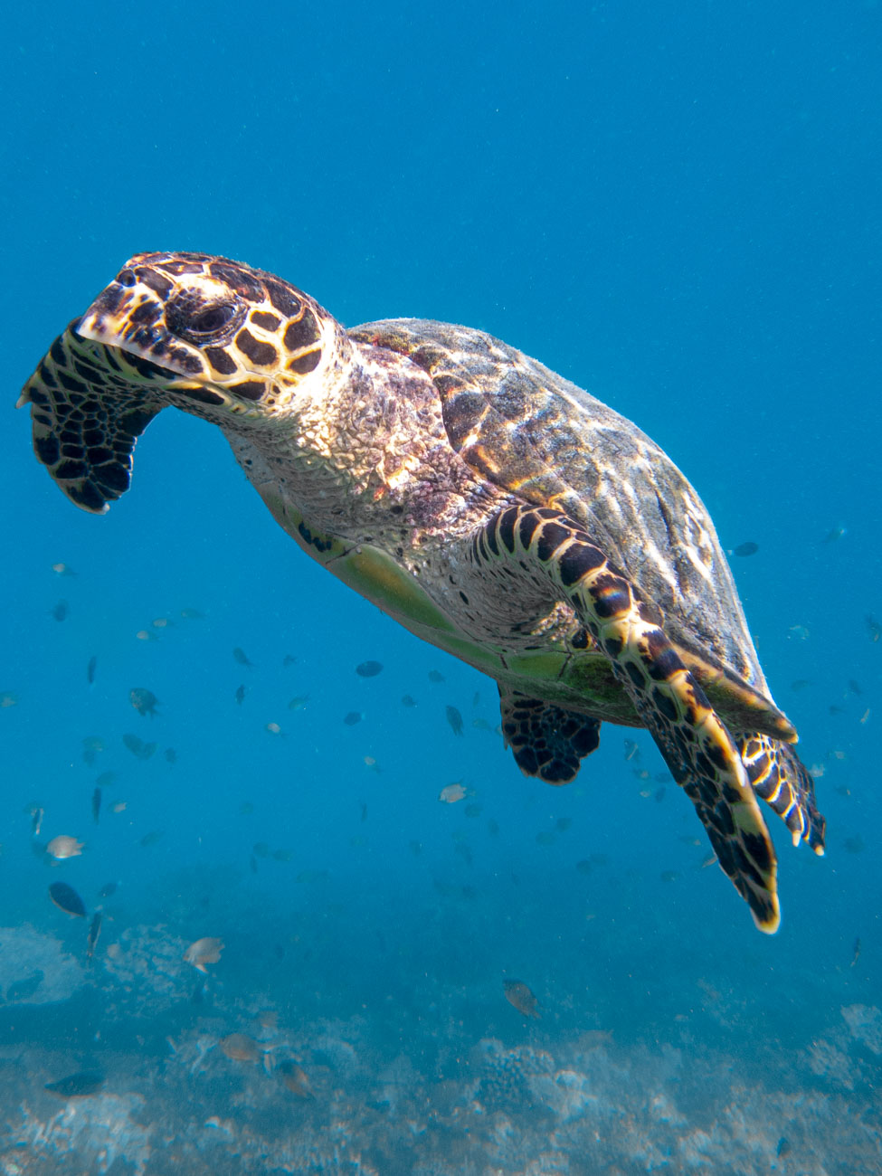 Hawksbill Turtle - Sailing the Maldives