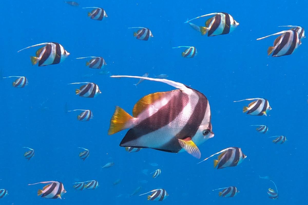 Schooling Bannerfish - Felidhoo, Sailing the Maldives