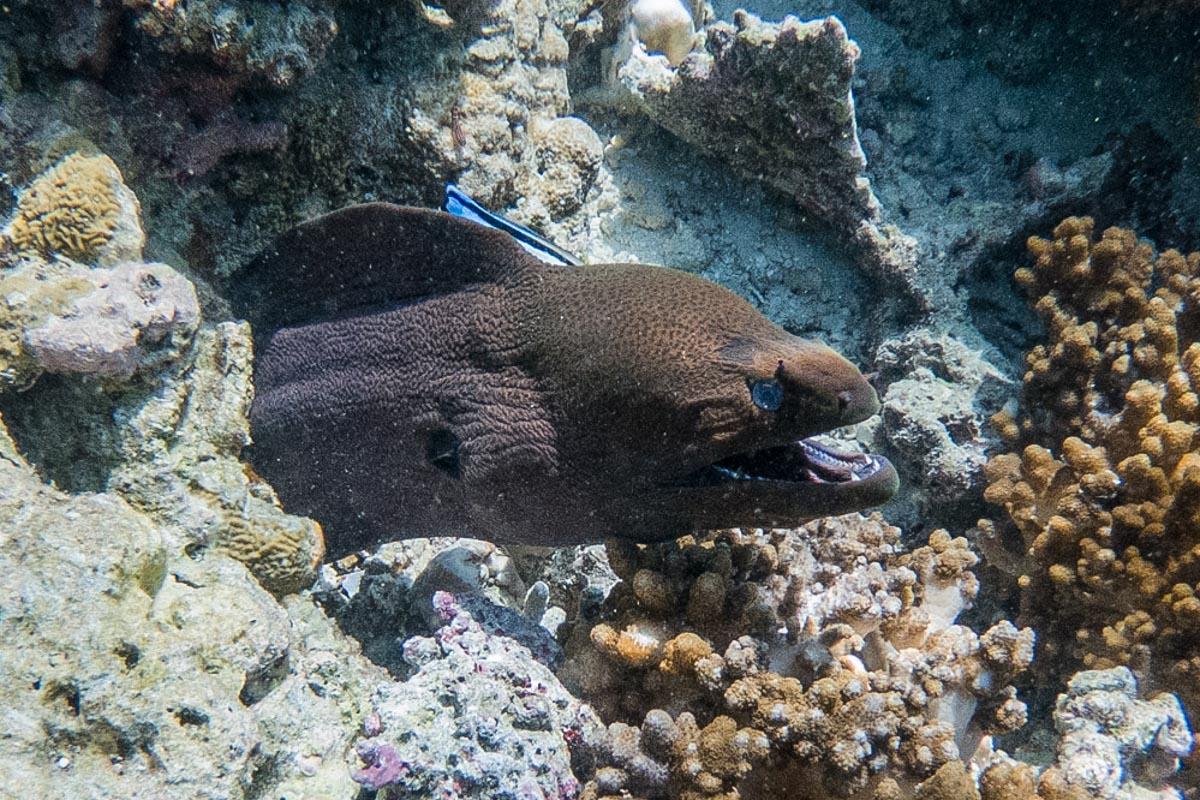 Moray Eel, Sailing the Maldives