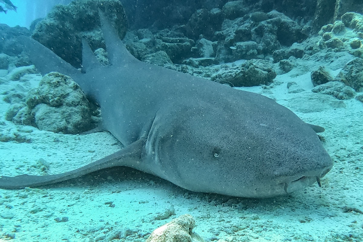 Nurse Shark - Sailing the Maldives