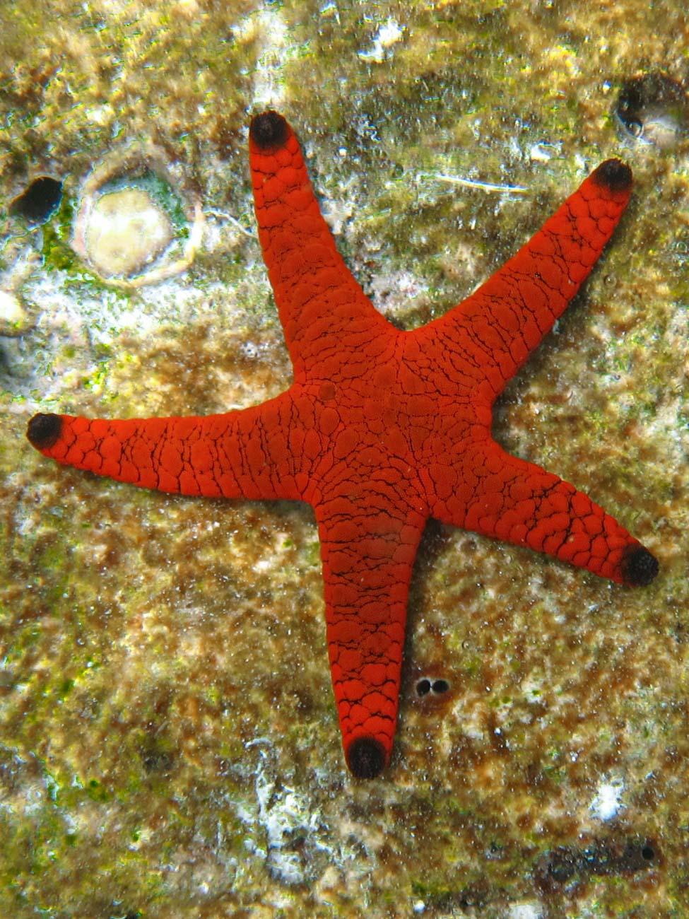 Starfish - Male' Atoll (Kaafu)