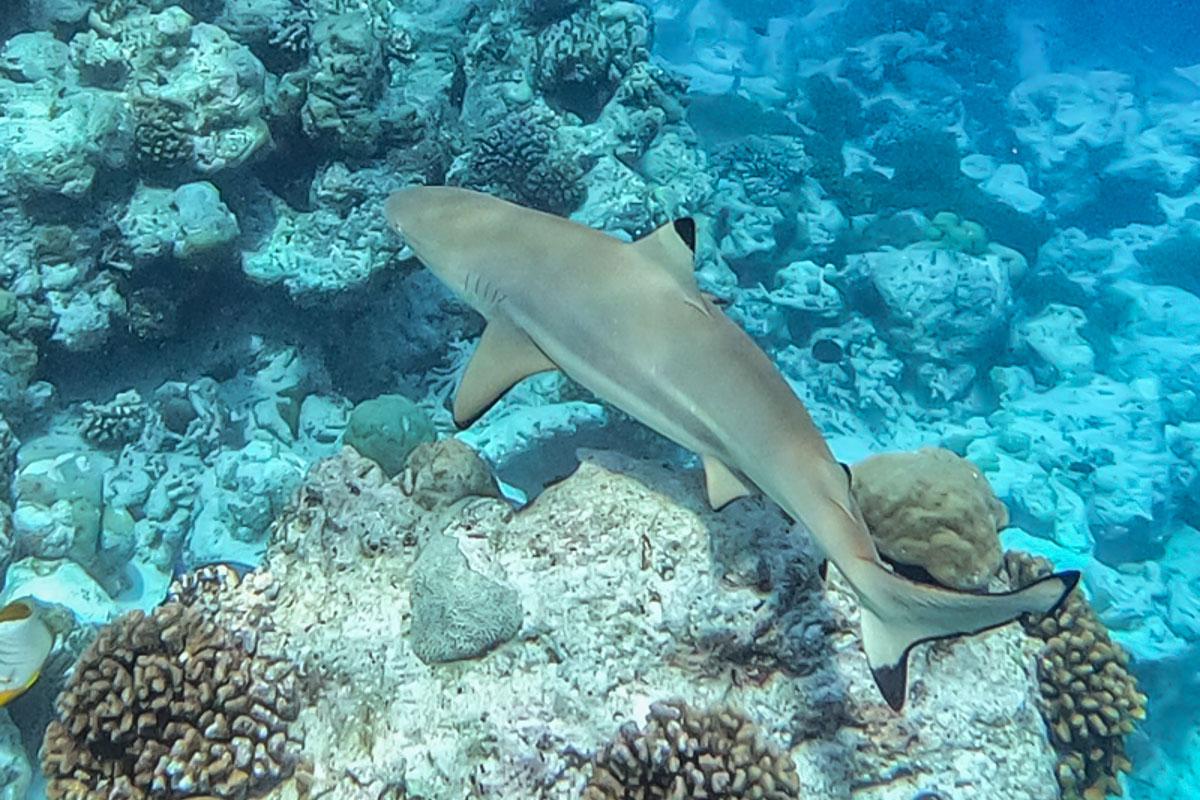 Blacktip Reef Shark - Sailing the Maldives