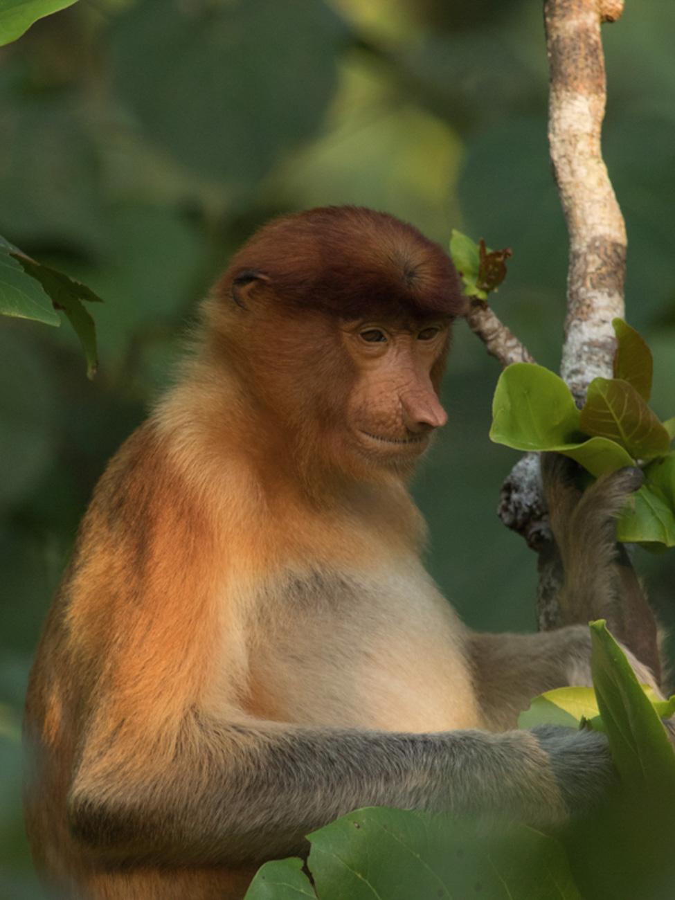 Proboscis Monkey (female) - Kinabatangan River