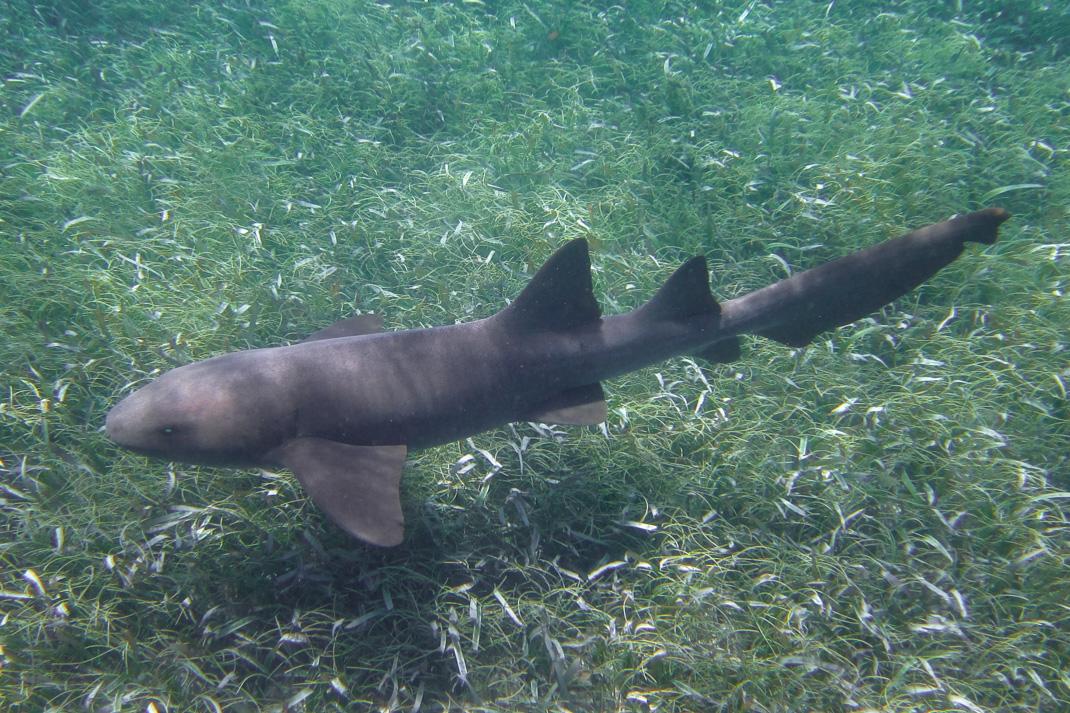 Belize Nurse Shark