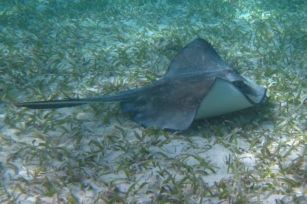 Belize Stingray