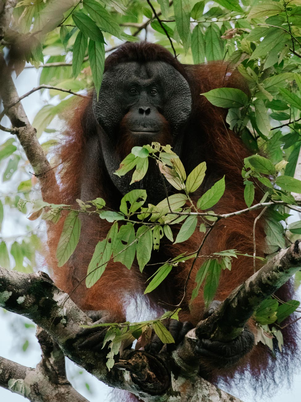 Male Orangutan, Kinabatangan River, Borneo