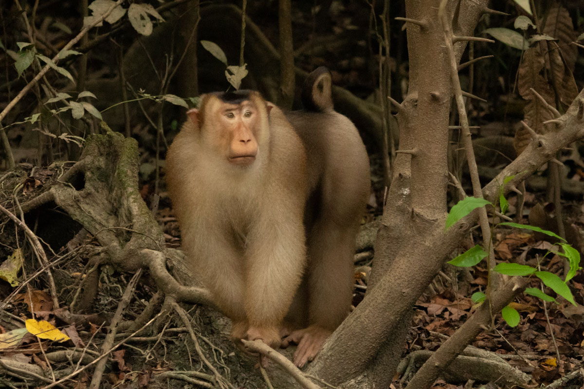 Male Southern Pig-Tailed Macaques