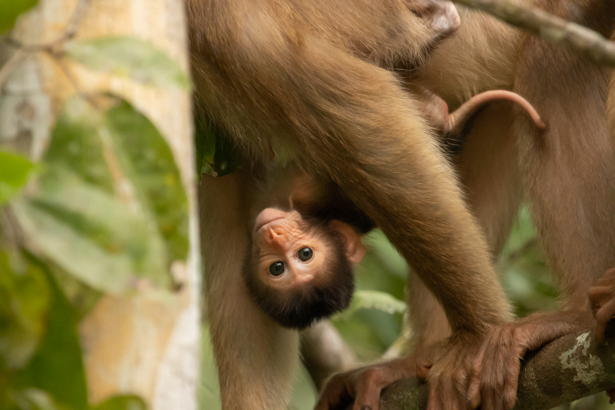 Baby Southern Pig-Tailed Macaques