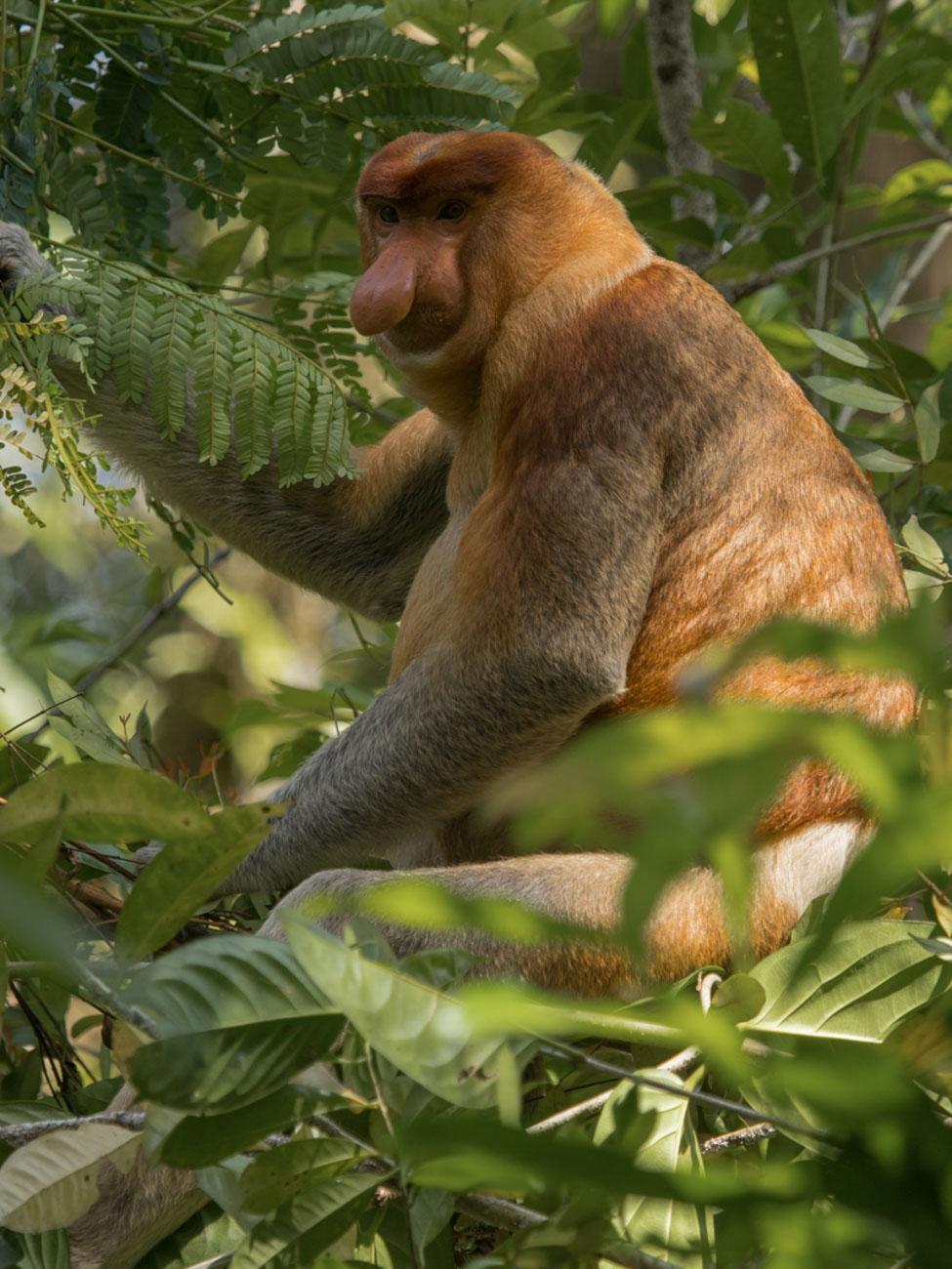 Proboscis Monkey (male) - Kinabatangan River