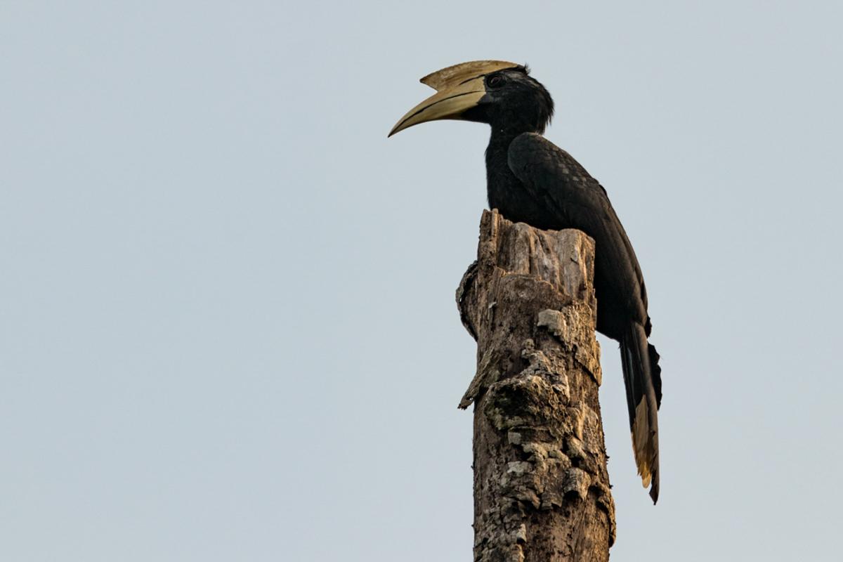 Asian Black Hornbill - Kinabatangan River