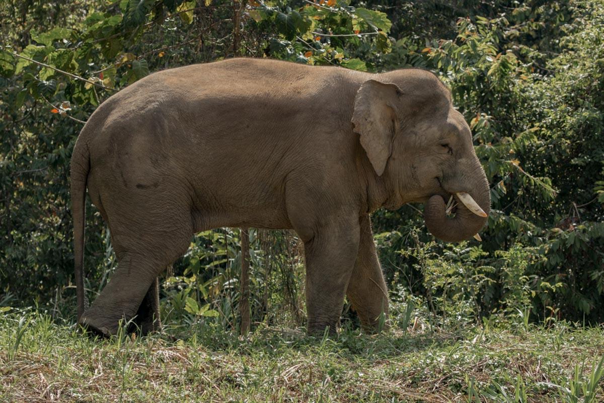 Male Bornean Elephant, Kinabatangan River