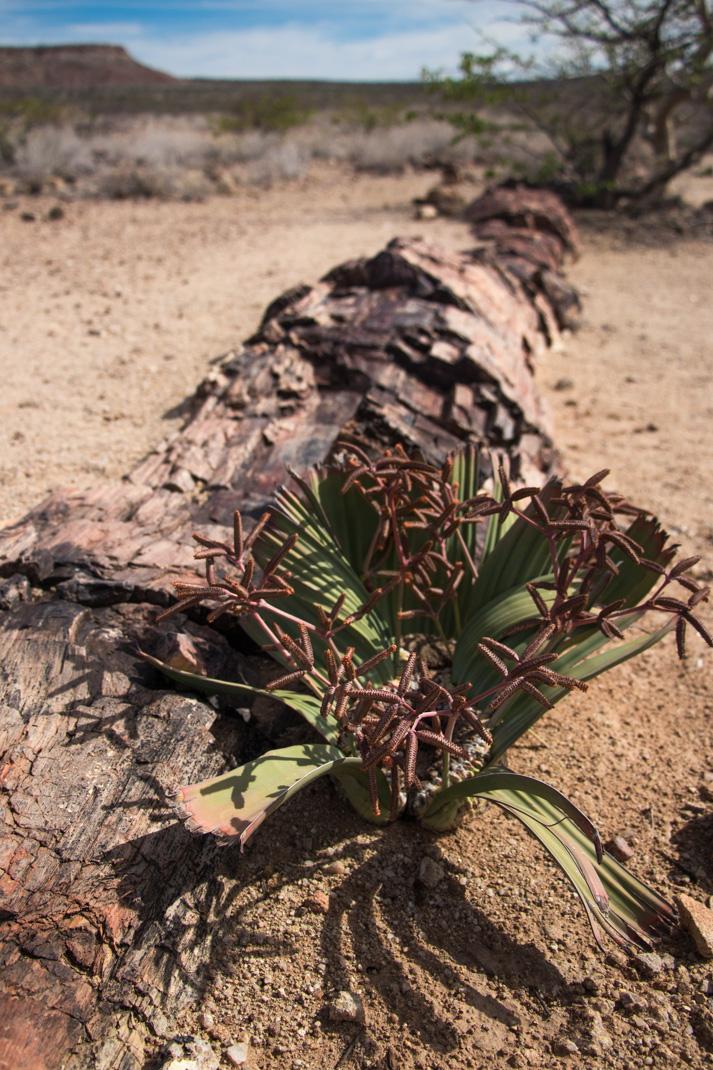 Namibian Welwitschia