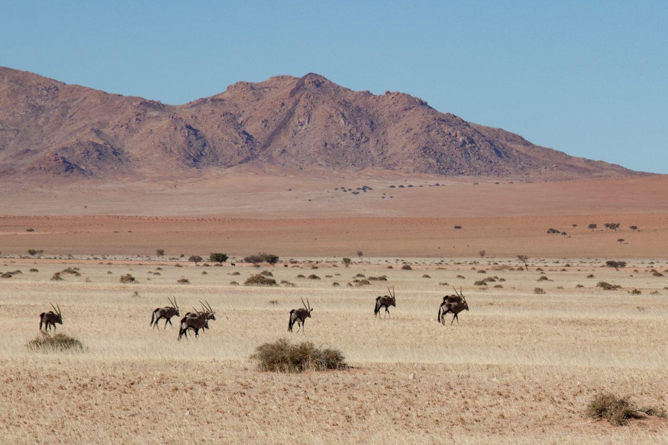 Wild Oryx, Namibia