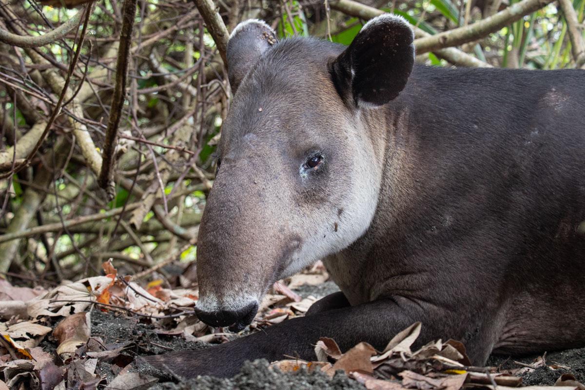 Baird's Tapir - Corcovado National Park