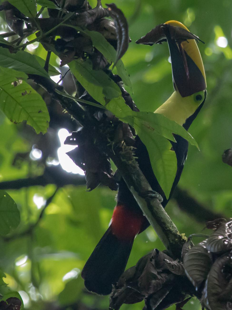 Chestnut-Mandibled Toucan - Corcovado National Park