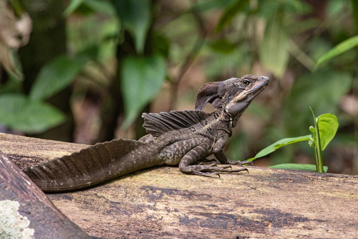 'Jesus Christ' Lizard - Corcovado National Park