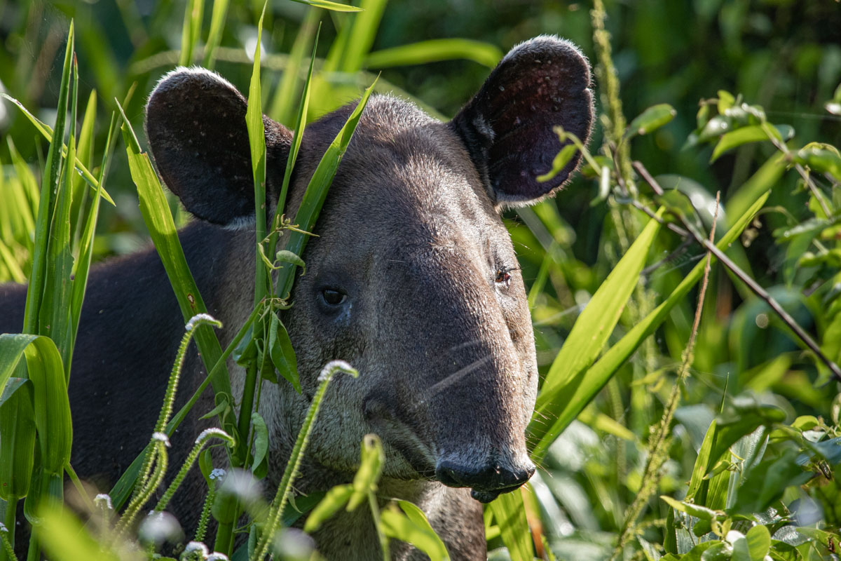 Corcovado National Park - Bairds Tapir