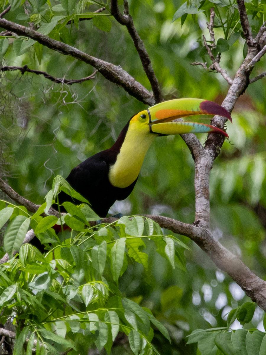 Keel-billed Toucan - Panama City