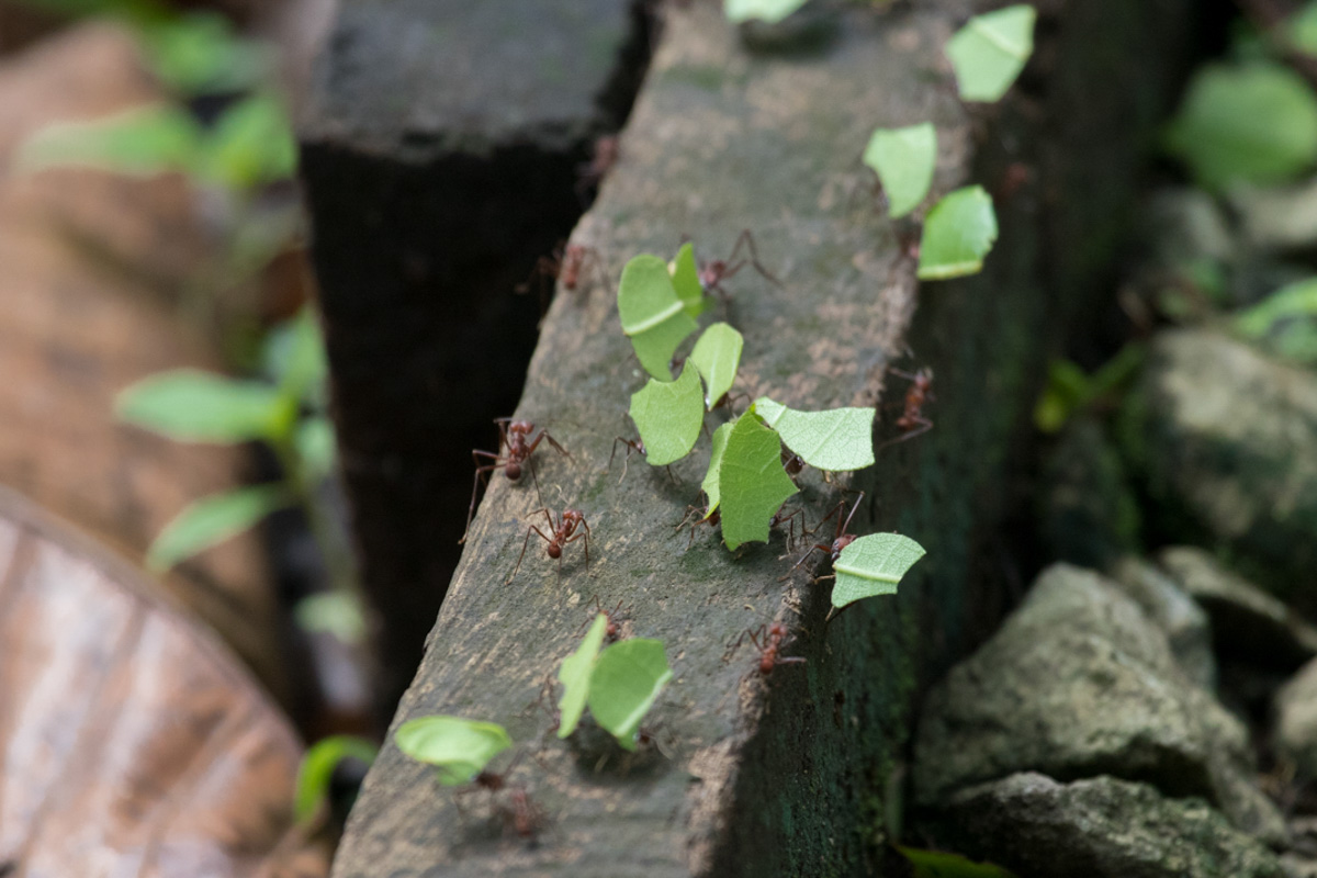 Panama City Highlights - Leaf-cutter ants in Parque Metropolitano