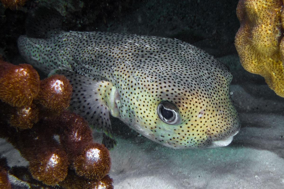 Porcupinefish, Roatan