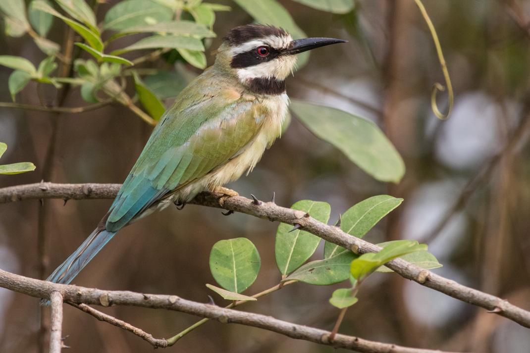 White throated Bee-eater Kakum National Park