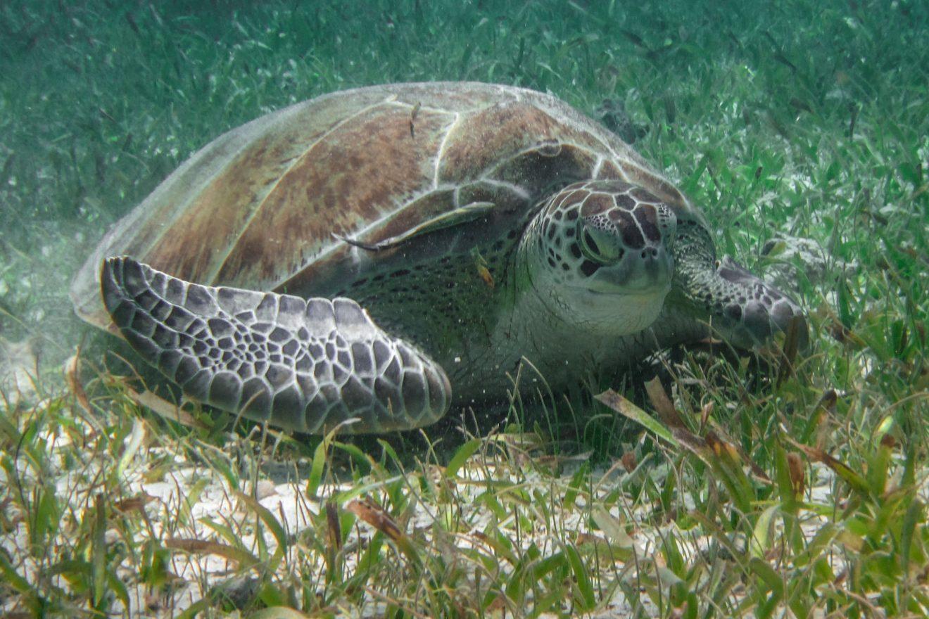 Belize Green Turtle