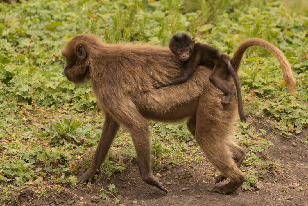 Geladas mother and bay in the Simien Mountains