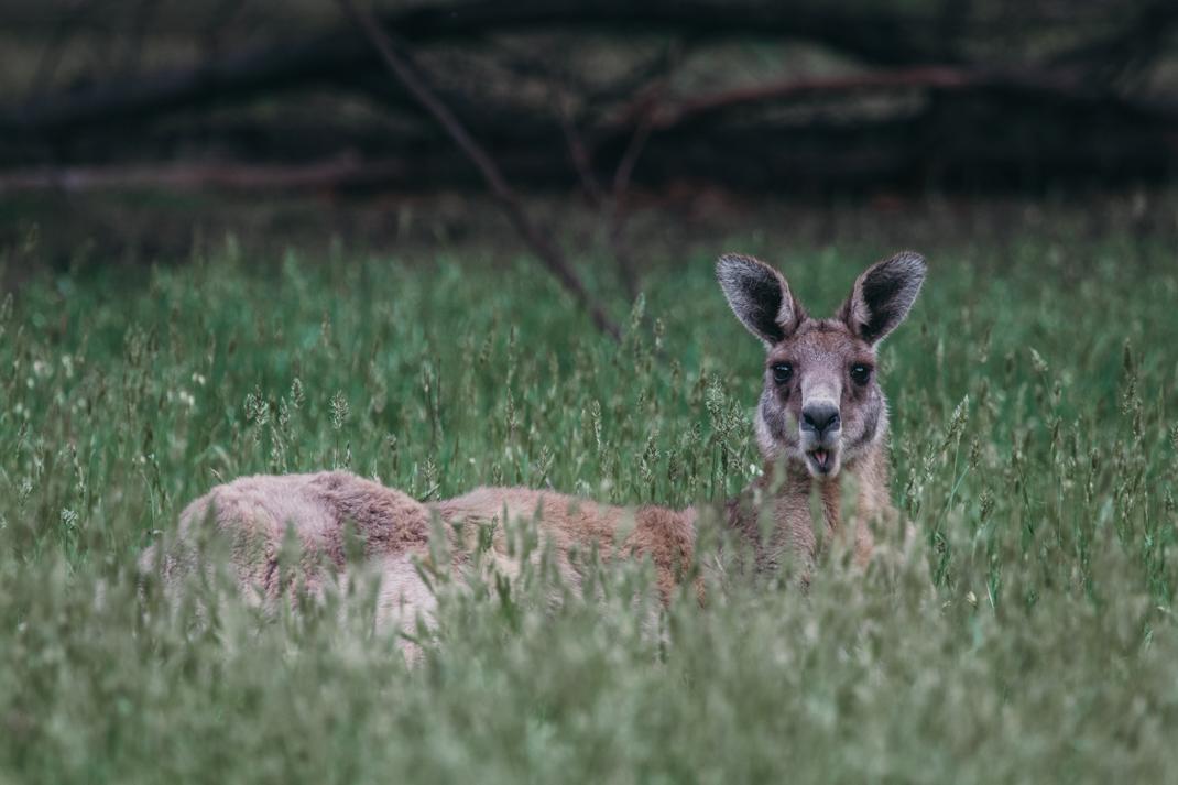 Eastern Grey Kangaroo, Grampians