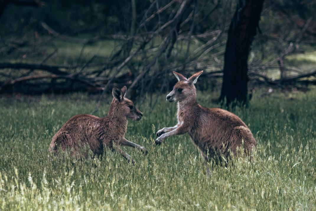 Wildlife of the Grampians