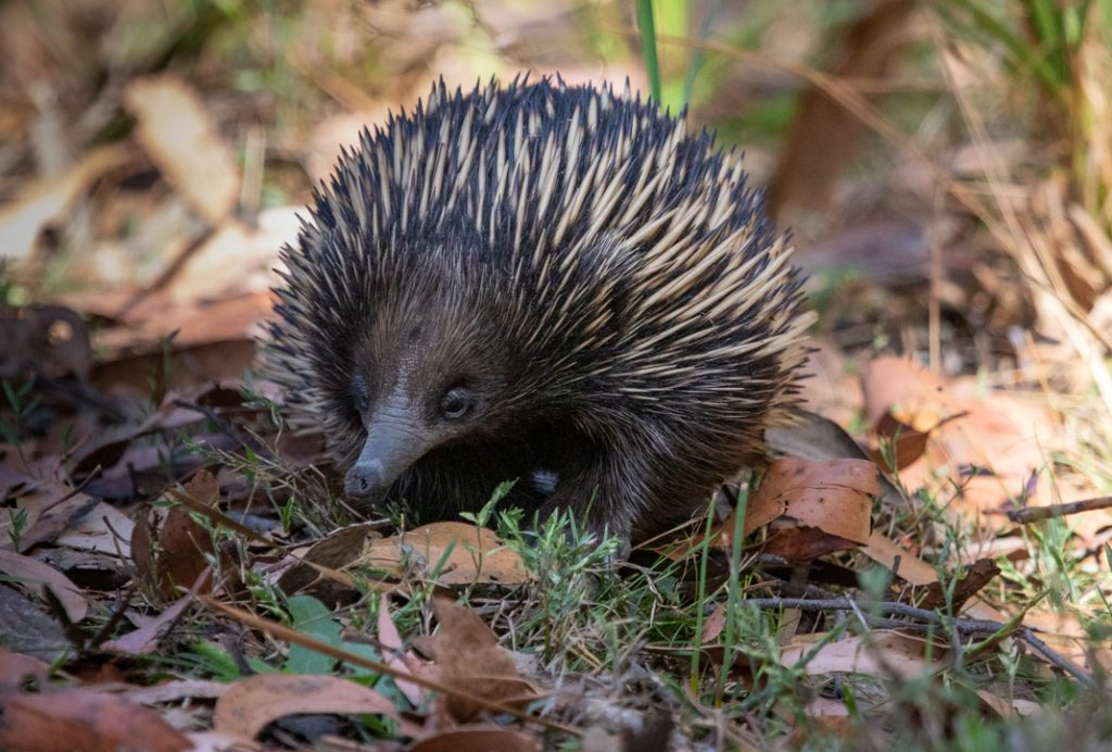 Echidna - Wildlife of the Grampians